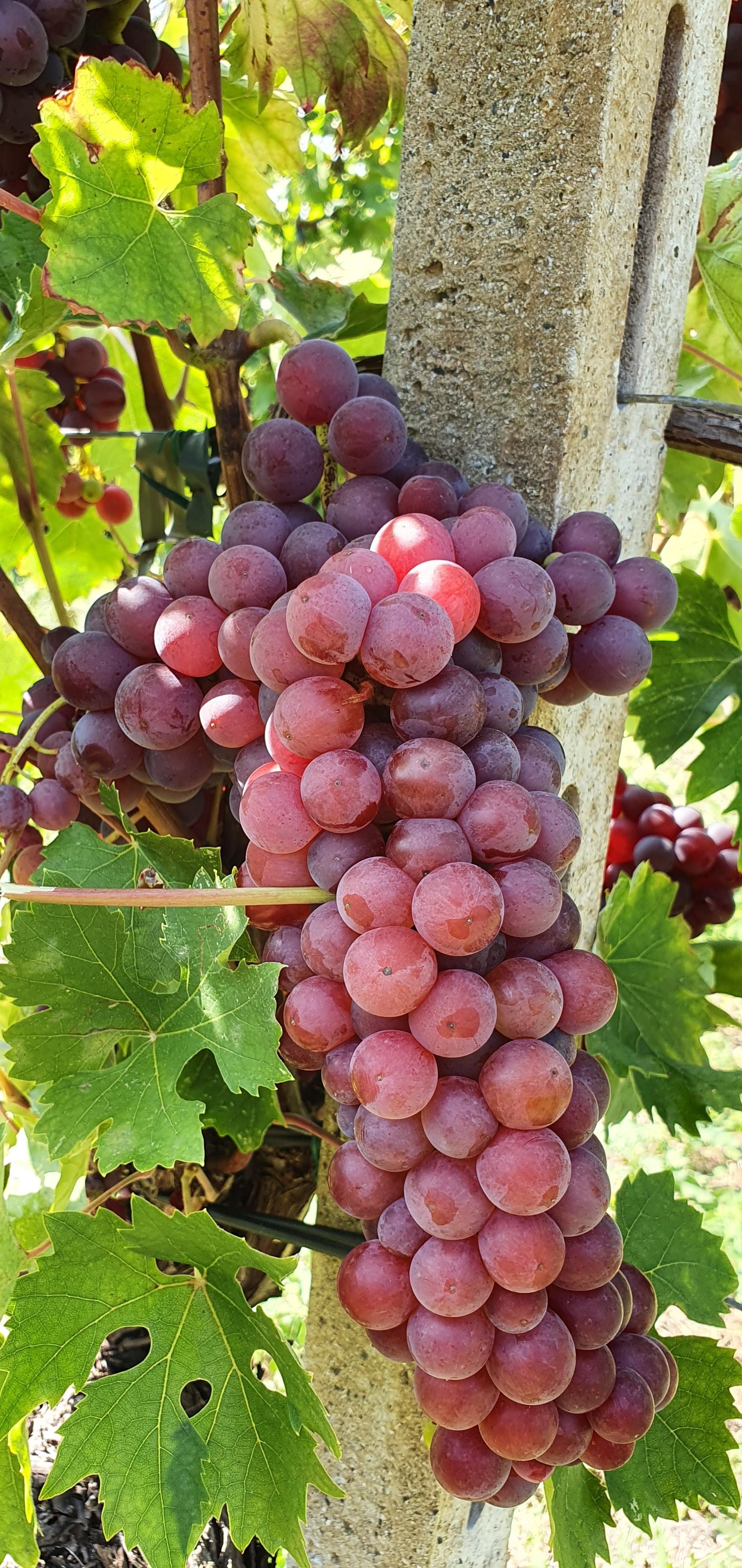 Купить лозу винограда в дубае самолет флай дубай 19 03 что случилось