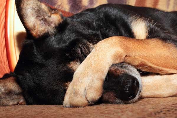 В Железногорске живодеры убили собаку со щенками