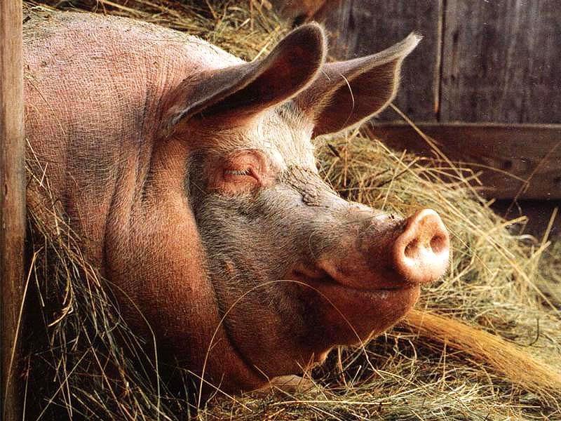 конструктивная как переложить лишний вес на свинью реабилитацию
