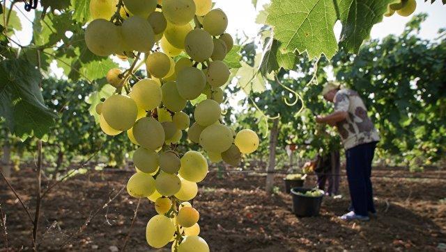 «Абрау-Дюрсо» против крымского «Нового света»: названо лучшее шампанское вРФ