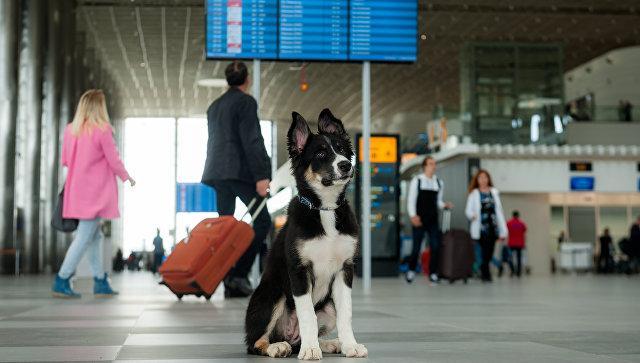 Талисман аэропорта Симферополь собака Алиса обзавелась поклонниками