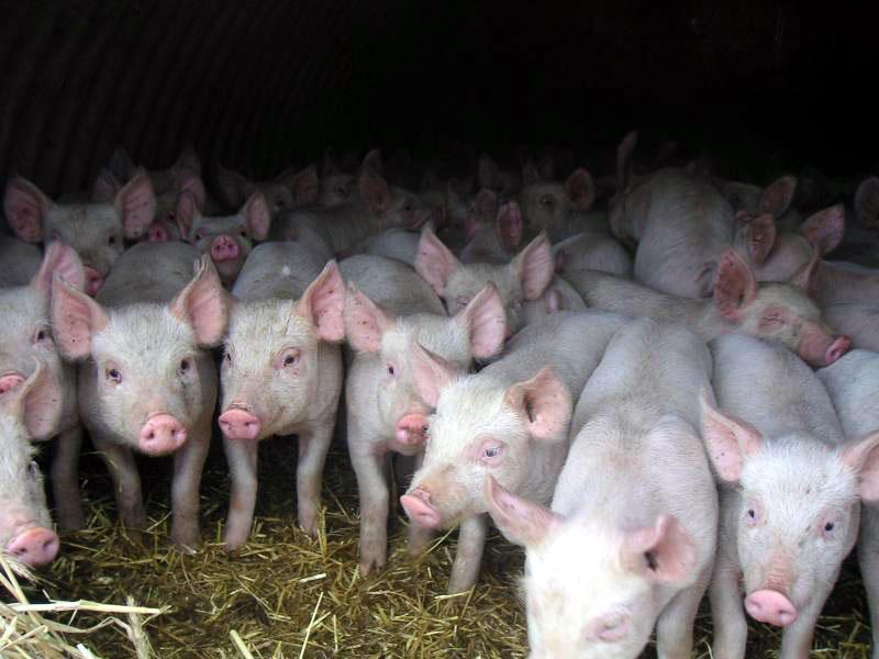 ВТО одобрила иск европейского союза против Российской Федерации по нелегальной свинине