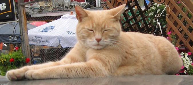 На Аляске умер кот, занимающий пост почётного мэра
