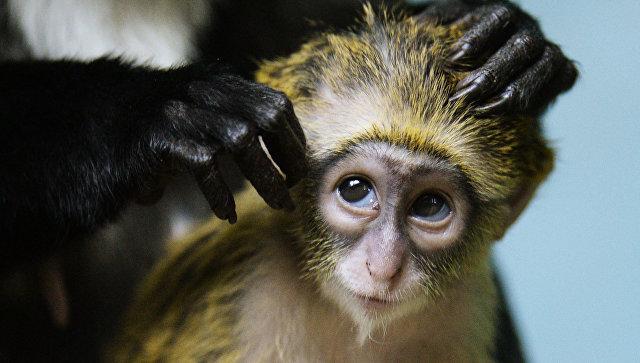 При закупке обезьян похитили практически полмиллиарда руб. — Афера вРАН