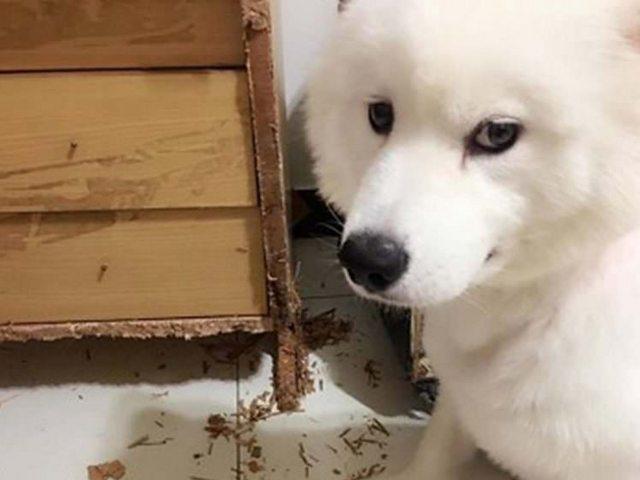 Непослушная собачка уничтожила всю собранную за10 лет интимную коллекцию владельца