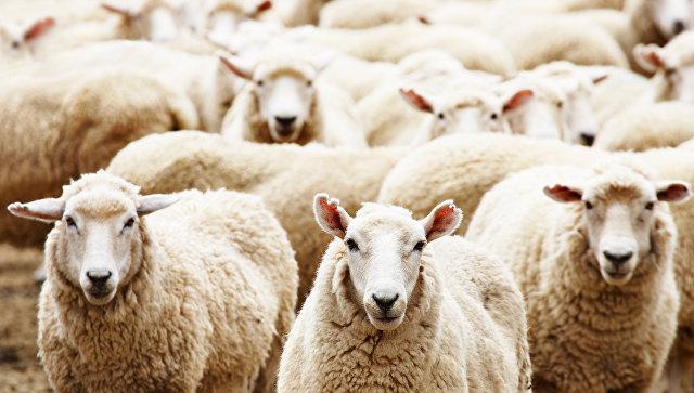 Американской базе ПРО в Румынии угрожает стадо овец